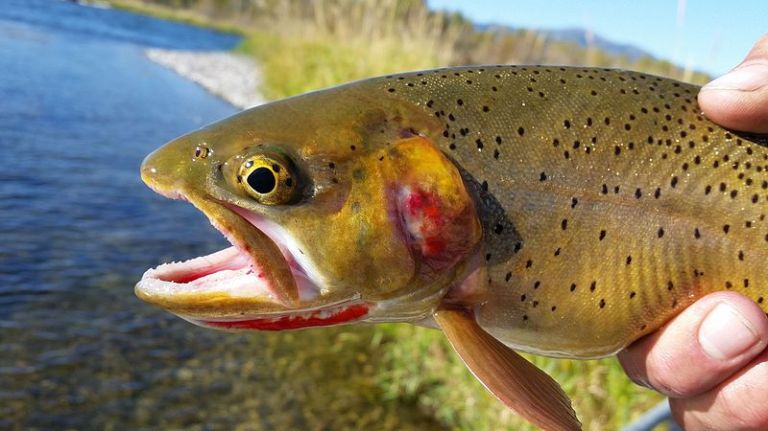 yellowstone_cutthroat_trout-by-waldemarpaetz